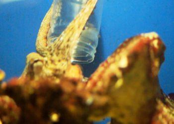 Oktopus04a
